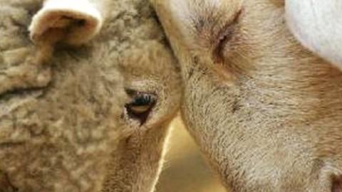 Αρνί ή κατσίκι; Η διατροφική αξία του Πασχαλινού τραπεζιού